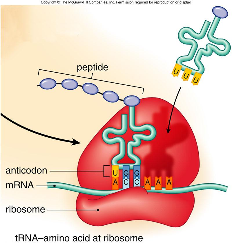 f11 13c_trna_structure__c there are three types of rna and each is involved in protein synthesis