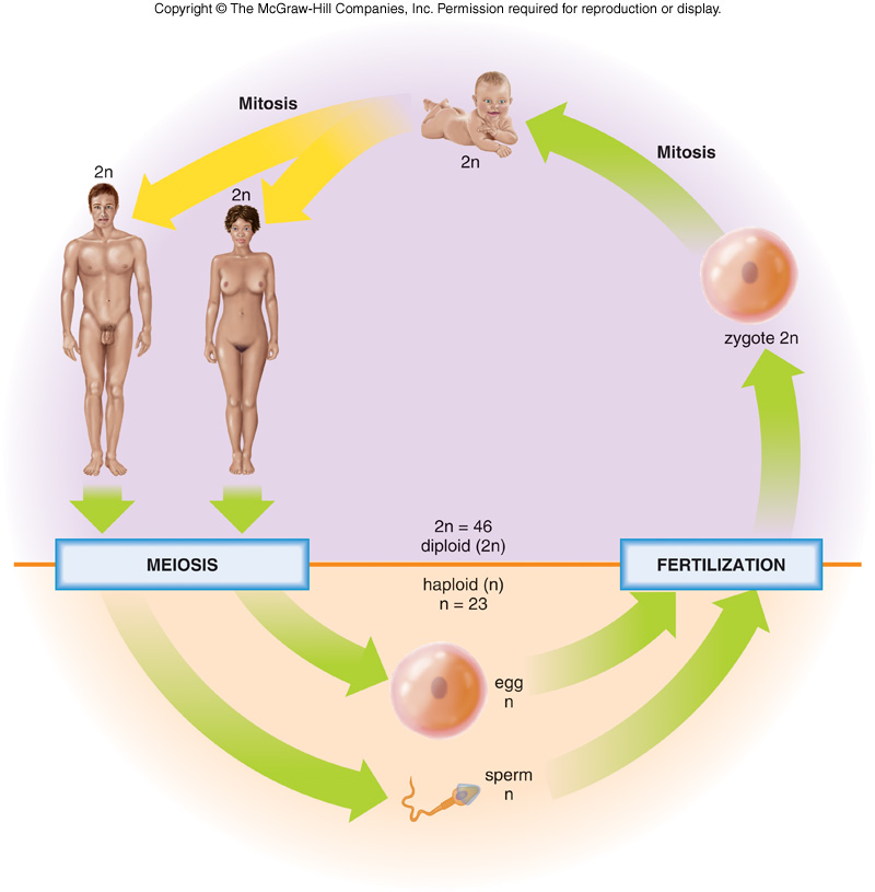 Human life cycle meiosis - photo#4
