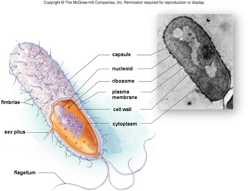 Module 2 part a cell structure bacterial cell diagram ccuart Image collections