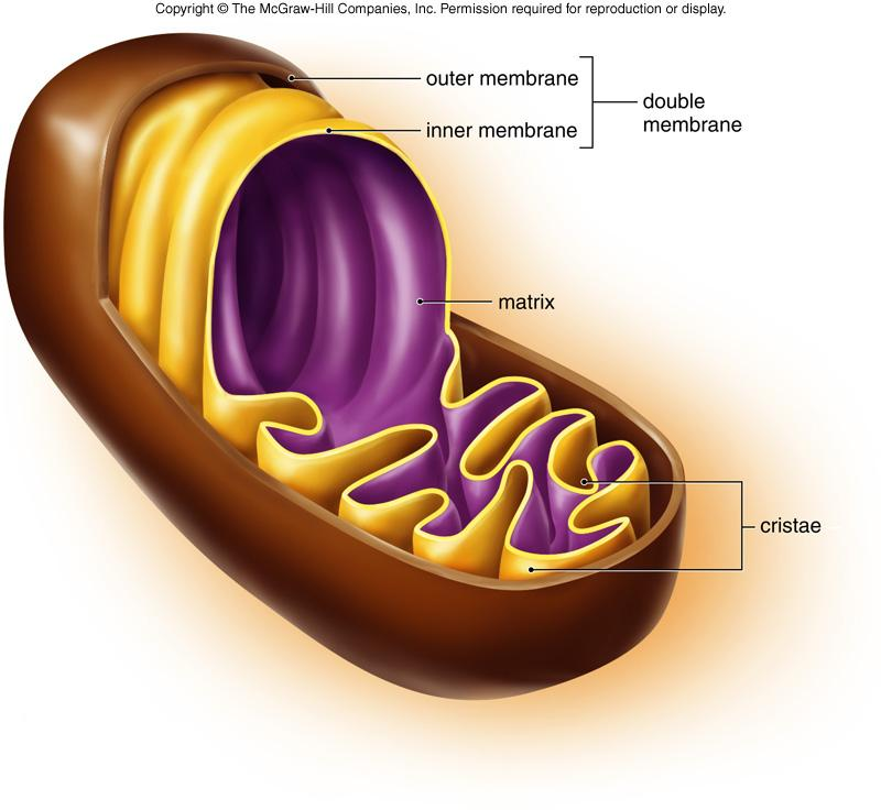 Energy Related Organelles