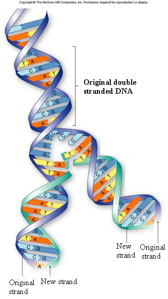 Dna structure and function genetic engineering and cancer for Semiconservative replication involves a template what is the template