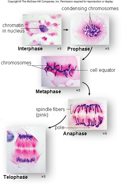 Module 2 part c cell division and reproduction phases of mitosis ccuart Image collections