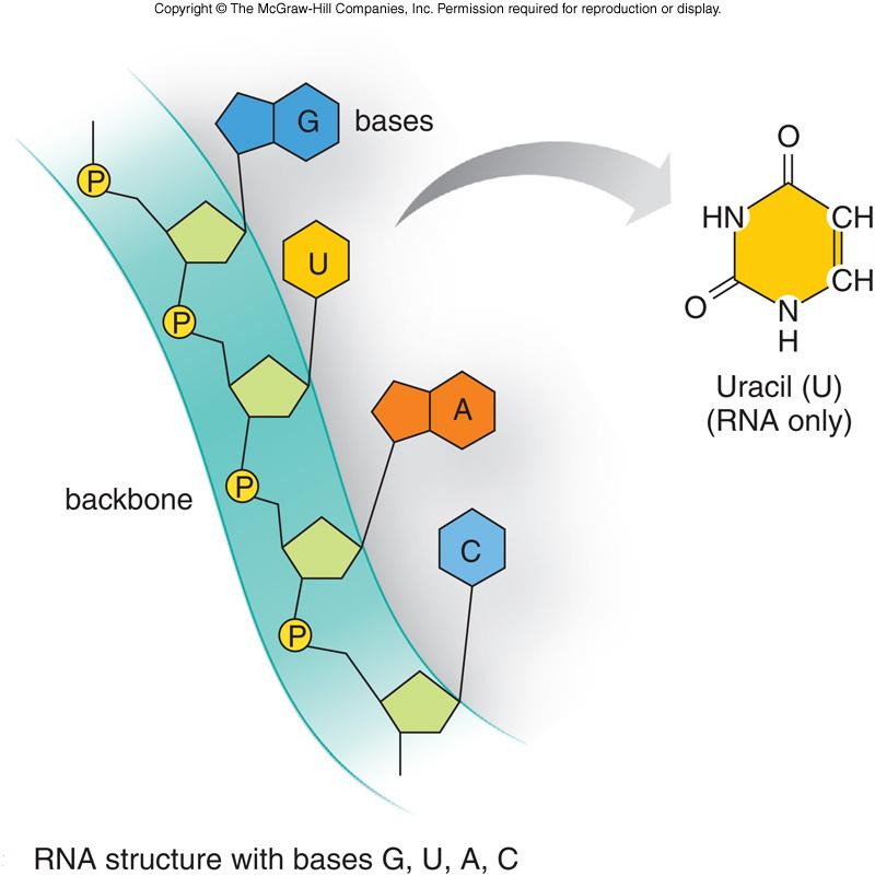 dna and rna c c Biology 219 – human physiology clemens protein synthesis a nucleic acids - dna and rna - information molecules: store and transfer genetic information.