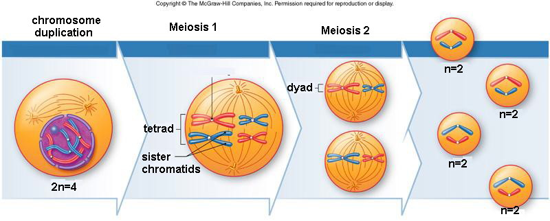 Is There Any Difference Between Prophase Of Mitosis And Prophase Ll