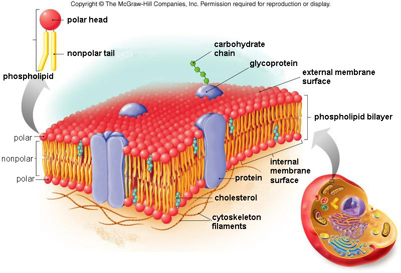 The plasma membrane is a phospholipid bilayer (in other words, its a ...